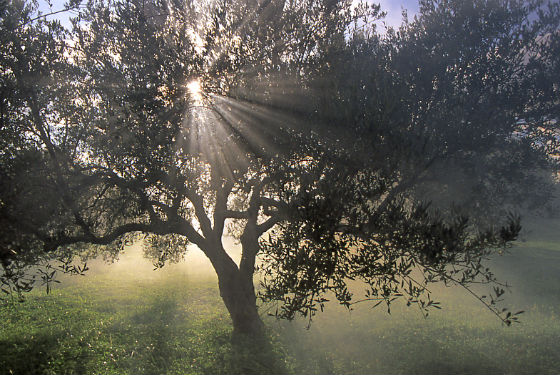 Olive Tree in sunlight2 Made in Crete