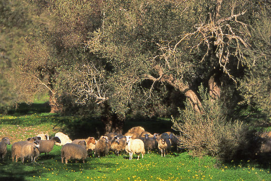 Sheep in olive grove Made in Crete