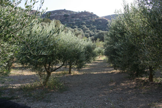 olive groves GET ME TO THE GROVE!