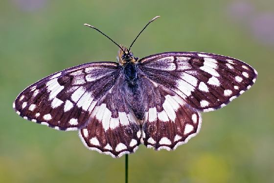 Balkan marbled white The wildlife of Greece
