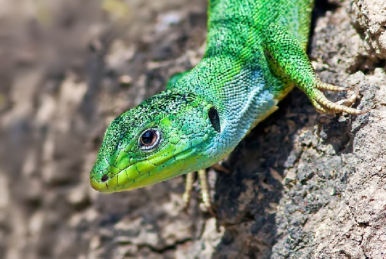 balkan green lizard The wildlife of Greece