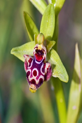 ophrys umbilicata The wildlife of Greece