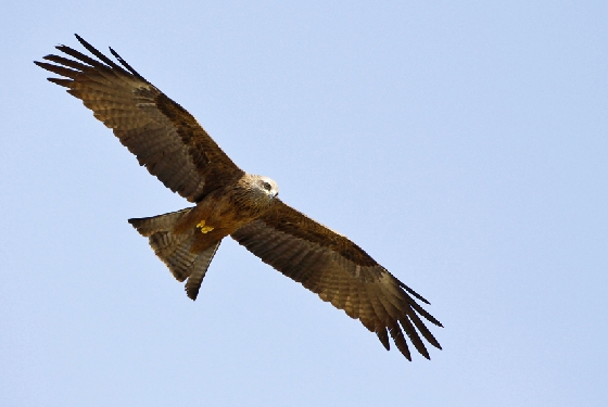 Black Kite by Steve Mills Two must visit wildlife destinations in Greece