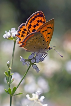 grecian copper1 Two must visit wildlife destinations in Greece