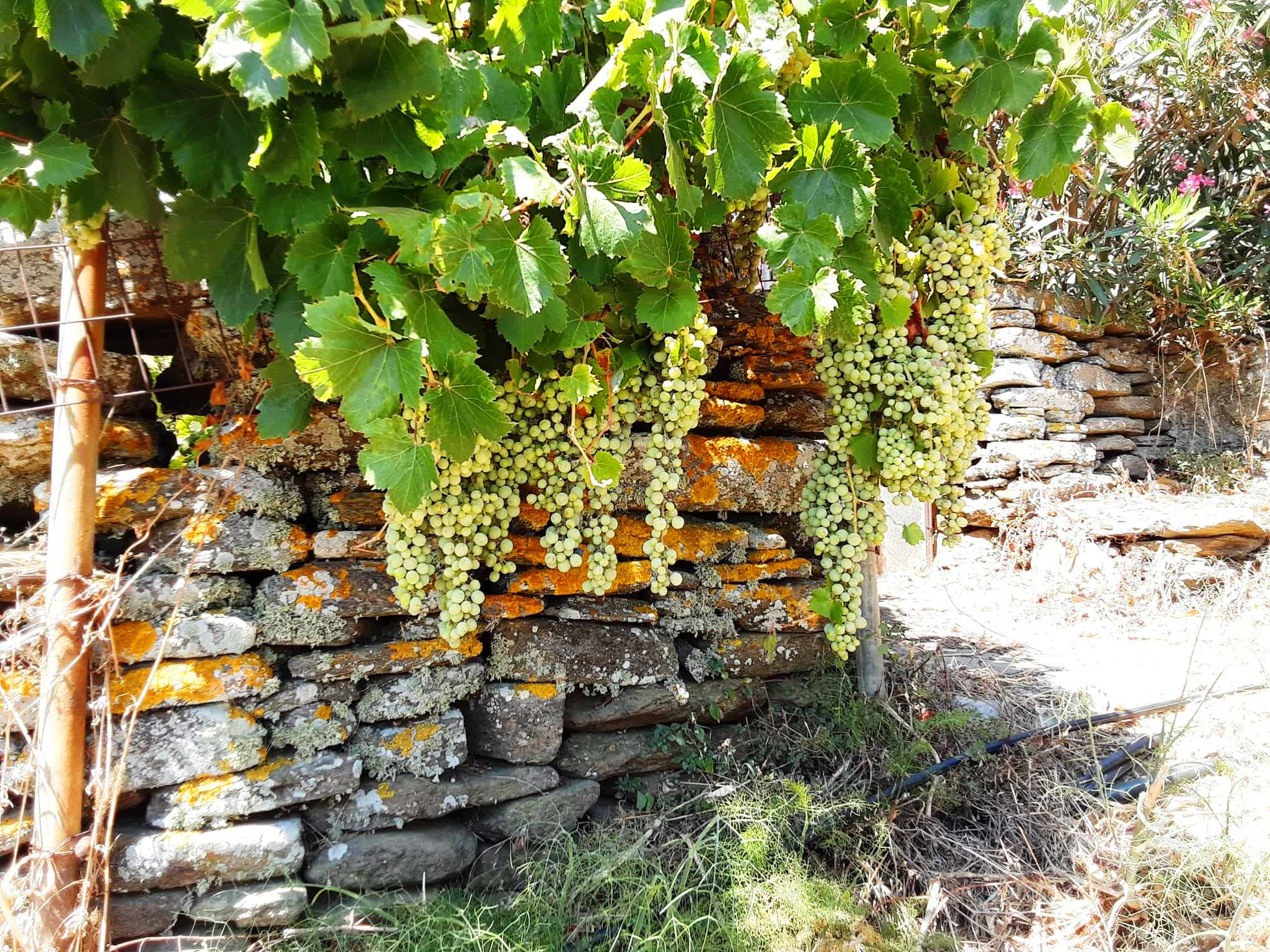 tinos5 Τhe Holy Wines of Tinos